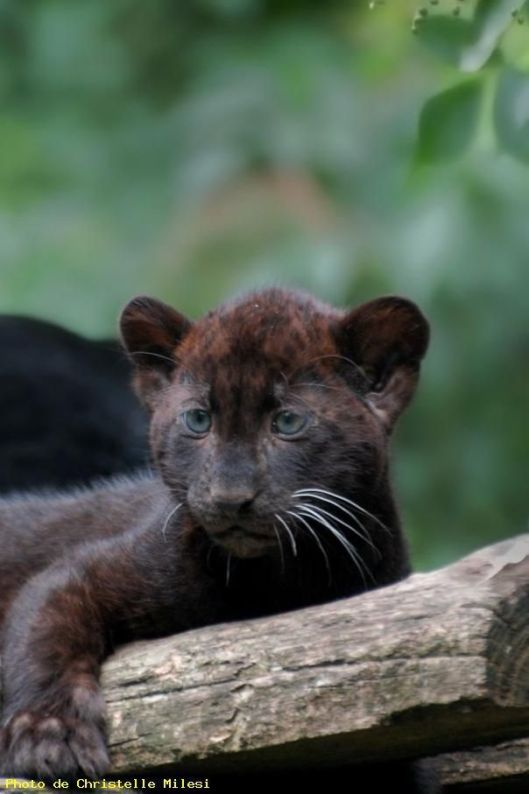 black baby jaguar
