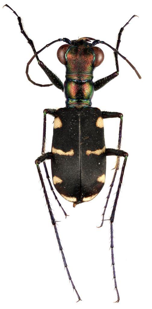 eanula (W.Horn, 1905) Male