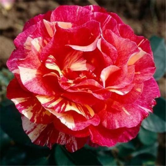 I-Grande-4213-rosier-maurice-utrillo.net