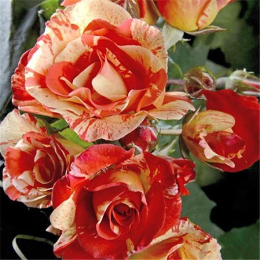 I-Grande-7738-les-rosiers-de-peintres.net