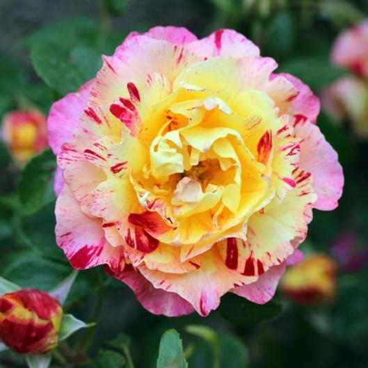 I-Grande-9317-collection-les-roses-de-peintres.net