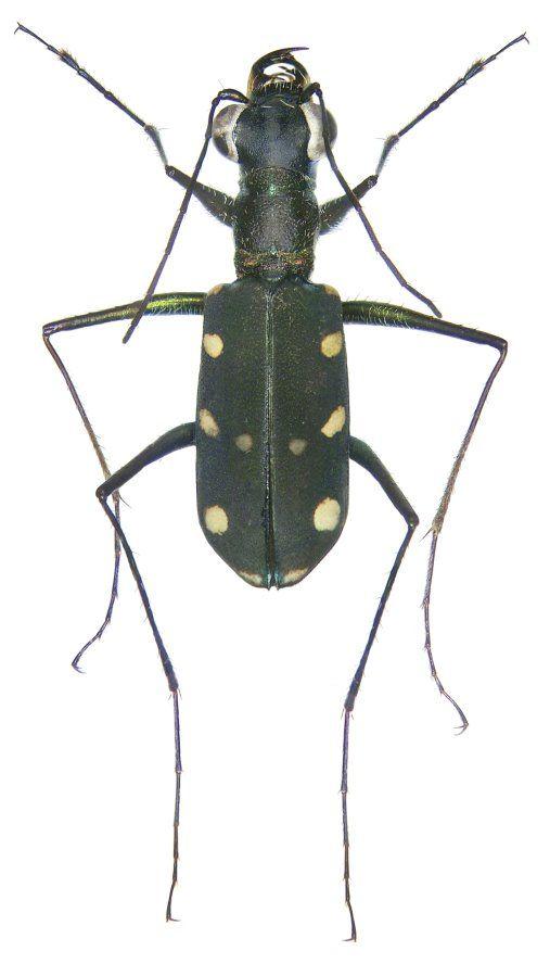 stenodera